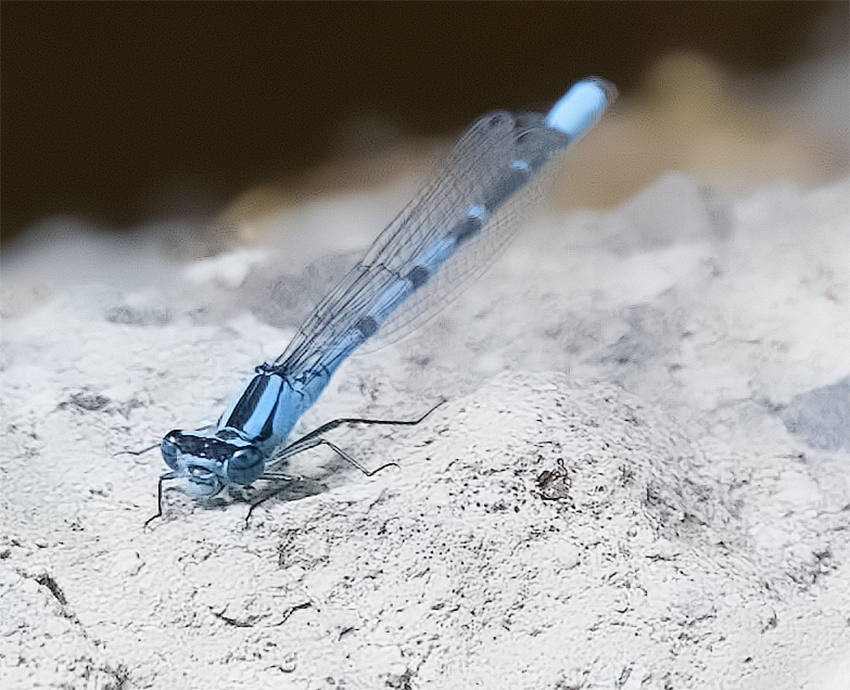 Bloedel blue dragonfly - Dave Grainger Photography ©