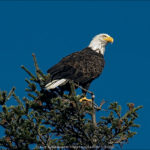 Bald Eagle, Photo by Dave Grainger © 2016