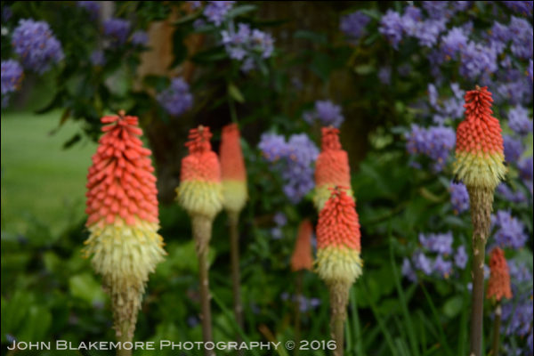 Border Ballet Red Hot Poker, Photo by John Blakemore