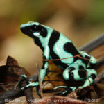 Green and Black Poison Dart Frog, Costa Rica, © Beverly McNeil 2016
