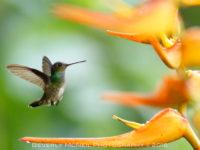 Charming Hummingbird, Costa Rica, © Beverly McNeil 2016